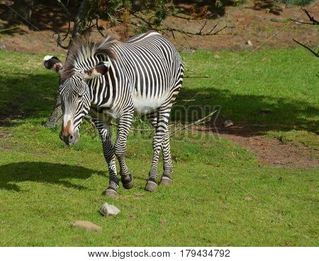 Wandering zebra with great bold markings on his body.