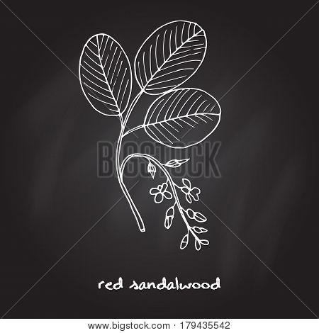 Red sandalwood branch, Hand drawn botanical vector illustration