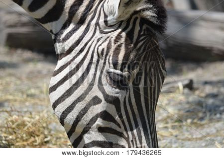A look at the side of a zebra's head.