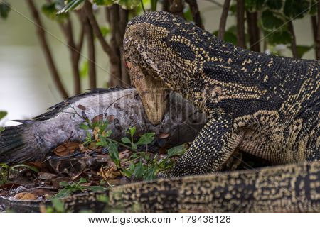 Lizard (water Monitor) Is Large Lizard Eating Fish