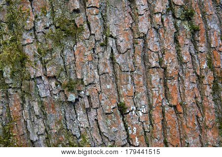 Tree bark texture close up with dosh and lychen