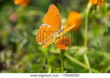 Butterfly on the orage flower. Abstract beautiful light from sunshine. orange batterfly with green background.