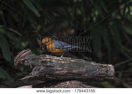 Bird (orange-headed Thrush) On A Timber