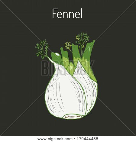 Aromatic herbs collection - fennel. Hand drawn botanical vector illustration