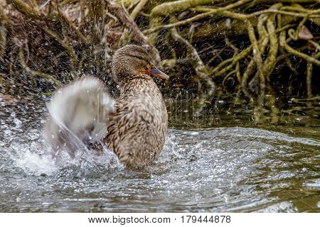 Image of a wild duck splashing in the water near the shore