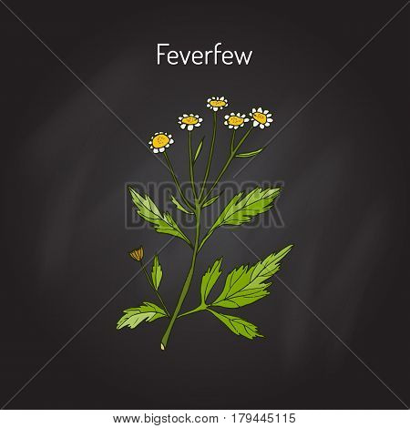 Feverfew - medicinal plant. Hand drawn botanical vector illustration