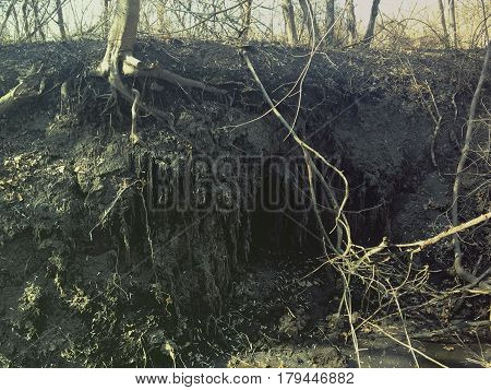 Animal Burrow in tree roots in Irish woodland, County Down, North Bulgaria