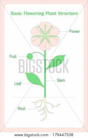 Scheme of Basic flowering plant structure. Learning biology stock vector illustration