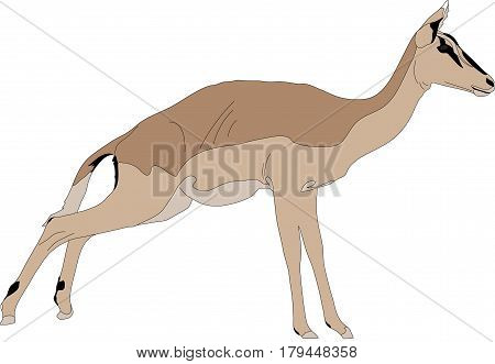 Portrait of a blackfaced impala on the jump, hand drawn vector illustration isolated on white background