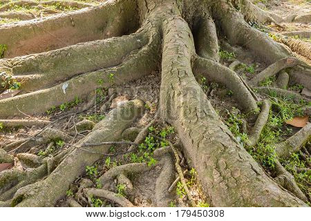 the part of the roots of a tree that have remained on the surface / the multiple roots of a tree
