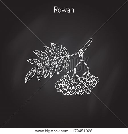 Rowan or mountain-ash tree branch with berries. Vector illustration
