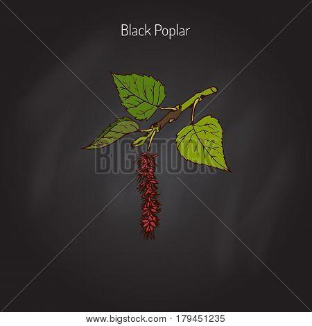 Populus nigra, black poplar. Hand drawn botanical vector illustration