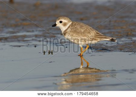 An endangered Piping Plover  Charadrius melodus in winter plumage