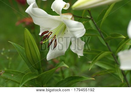 Closeup White Lily flowers in a garden Macro shot Pistil and stamen