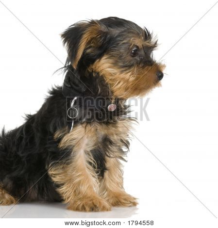 Puppy Yorkshire Terrier (2 Months)
