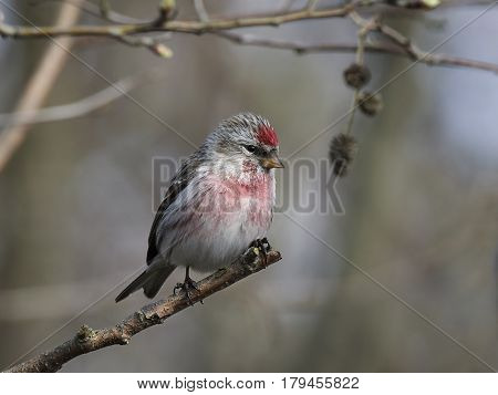 Common redpoll sitting on a branch in its habitat