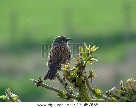 Hedge sparrow perched on top of hedging