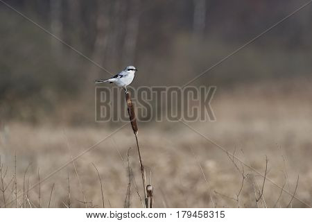 Northern shrike looking for food in its natural habitat