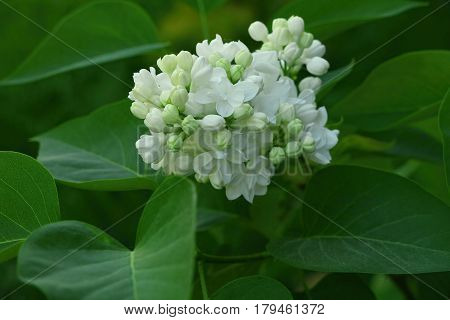 White lilac flowers with buds arrounded lea for a background spring garden syringe vulgaris.