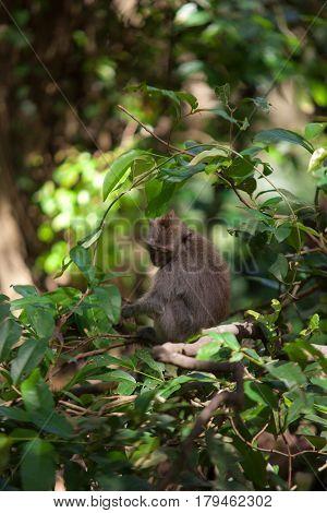 January, 19, 2017, Ubud, Bali, Indonesia: Funny Macaque In Sacred Monkey Forest, Ubud Bali. Mammal A