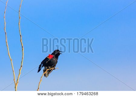 Red-winged blackbird (Agelaius phoeniceus) singing for a mate in springtime.