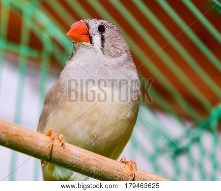 Little red key rice finch eating finch amadina