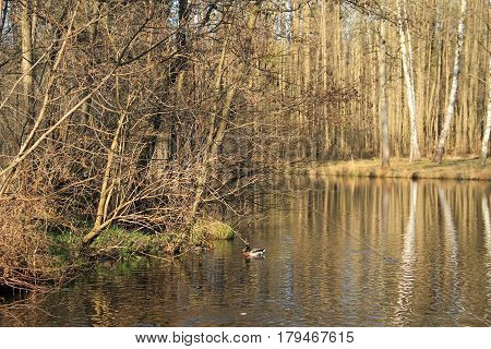 Kamenec lake in the forest with reflections of the trees on the calm water surface and colorful male duck swimming on it, Czech Republic