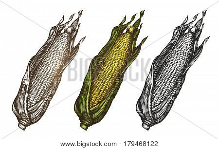 Hand drawn corn. Food sketch. Vector illustration isolated on white background