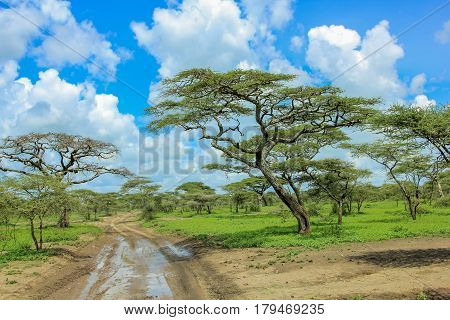 African trees in the middle of the plains of the Serengeti National Park, Tanzania, Africa.