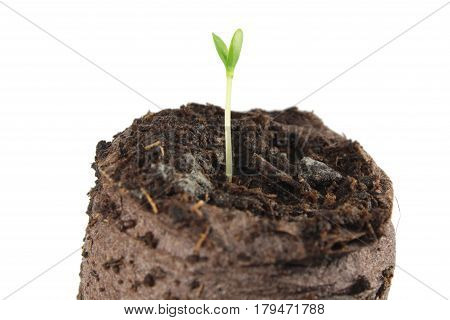 Seedling of Melothria scabra in clod of soil isolated on white background