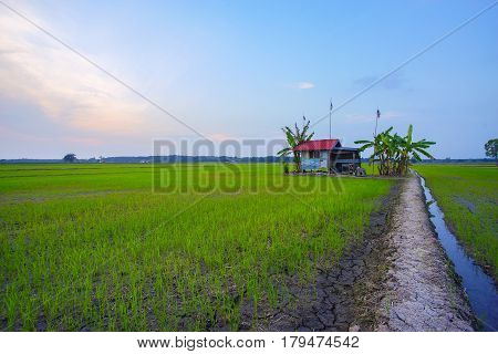 Old Traditional Rice Field Bamboo Bad Weather Hut, Showing Rice Field Landscapes And Surviving Nativ