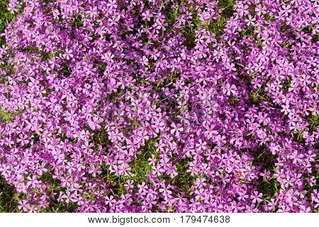 Background of a large number of purple flowers phlox