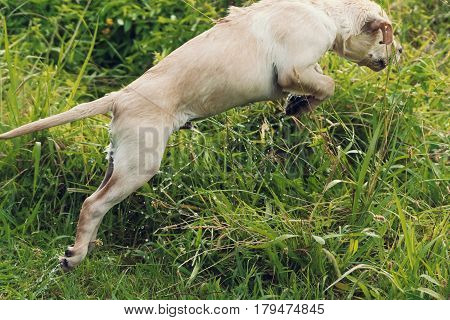 A white puppy leaps excitedly through long grass with water streaming off him.