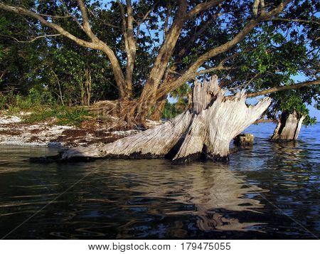Tree stump in the shallow waters around an island in the Indian River near Titusville, Florida