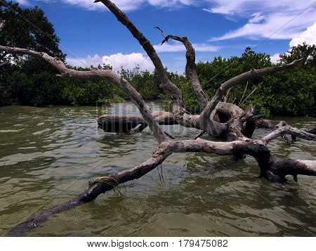 Fallen tree lies across the shallow waters of a salt marsh in the Banana River near Cocoa Beach, Florida