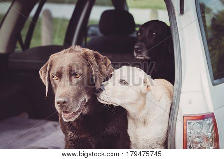 Three Labrador Retrievers sit in the back of a car while the white puppy shows affection towards one of the adult dogs.