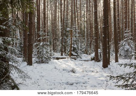 Winter landscape of coniferous forest in sunset light with young pine, Bialowieza Forest, Poland, Europe