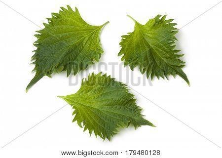 Fresh green shiso leaves on white background
