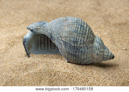 Empty blue whelk sea shell on beach sand