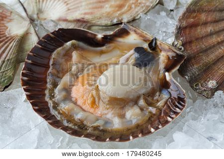 Fresh raw open scallop on ice in the shell with clips close up