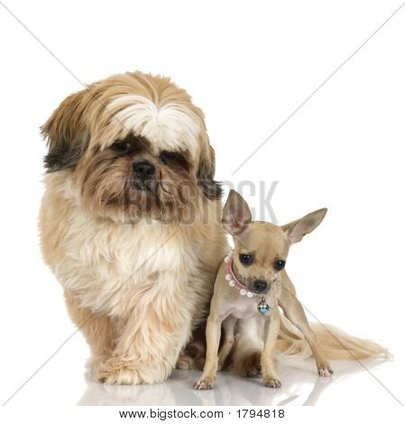 Chihuahua And Shih Tzu