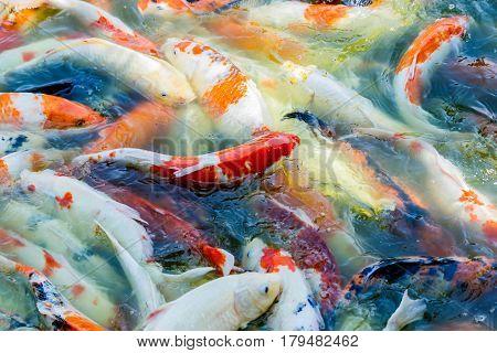 Colorful fish or CARP or fancy carp