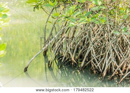 Mangroves stilt or prob roots in mangroves forest in Thailand.