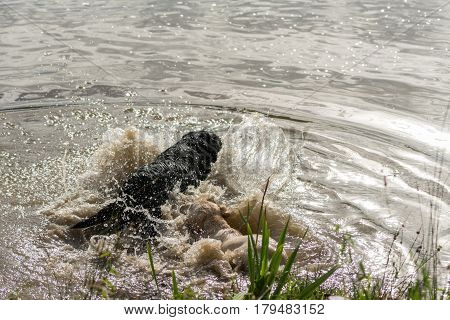 A series of consecutive images of two dogs Labrador Retrievers jumping into a lake and playing in the water.