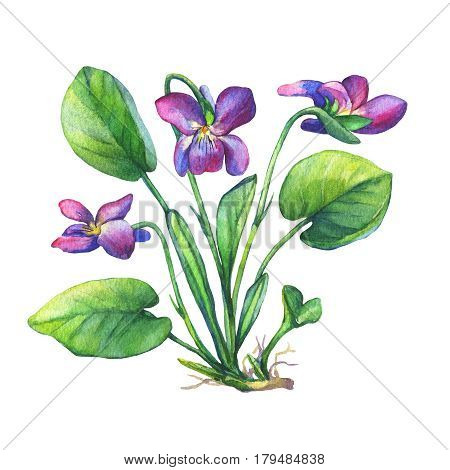 Illustration of Fragrant violets wild flower (English Sweet Violets, Viola odorata). Hand drawn watercolor painting on white background.