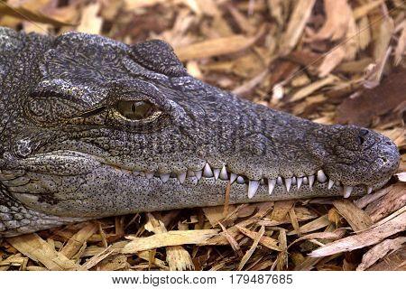 The eye and teeth of a Nile crocodile