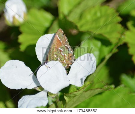 Colorful butterfly on white wildflowers in Austin Texas