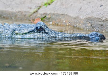 Crocodile Keeping an Eye on You in Central Texas