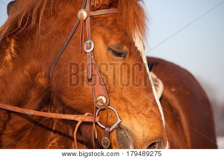 Western Horse face with bridle close up