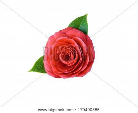 Camellia isolated on white background. Spring Japanese flower with a saturated red color. Camellia fashion pin badge brooch sticker patch. All elements are isolated and editable.